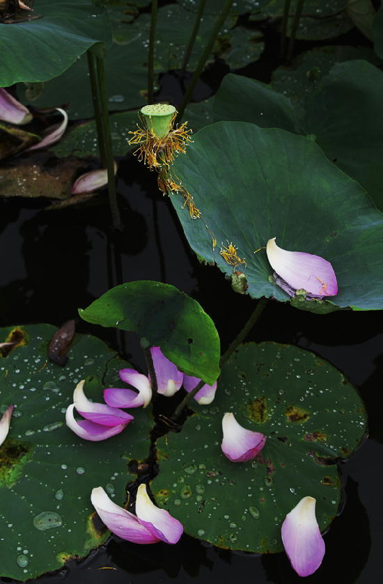 散り花-256-11