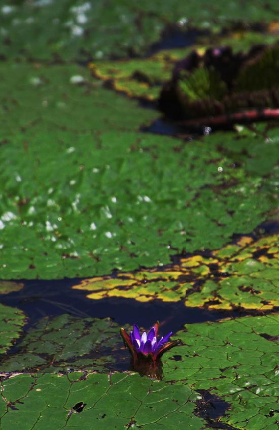オニバスの花-319-11