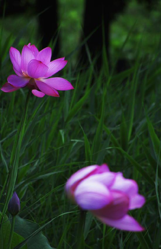 蓮の花-305