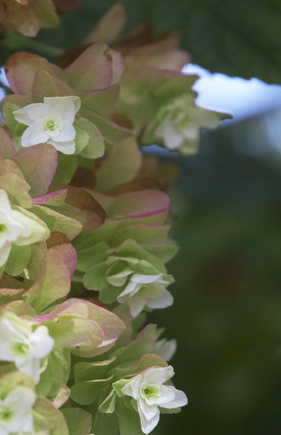 柏葉紫陽花-54