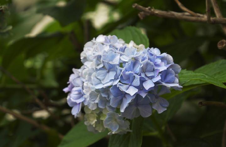 紫陽花-517