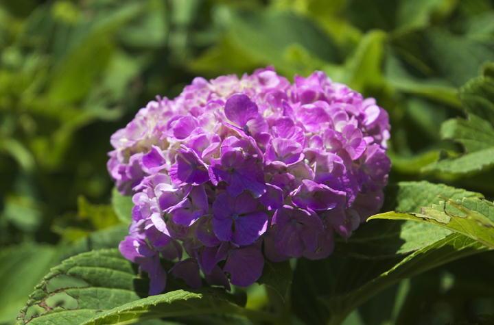 紫陽花-551