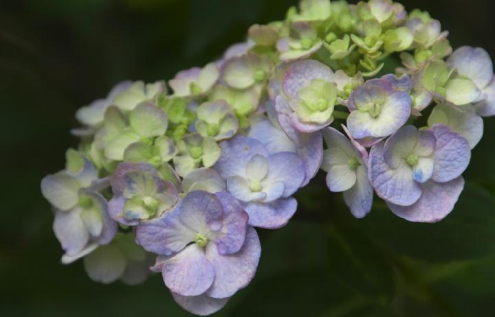 紫陽花-444