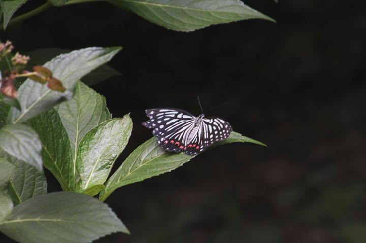 蝶々-568