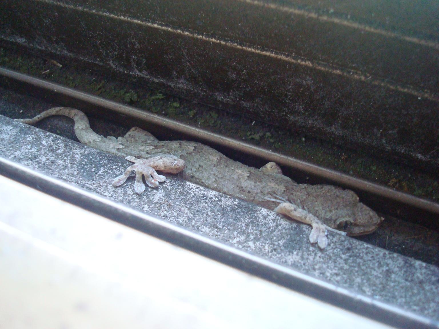 gecko-7.jpg