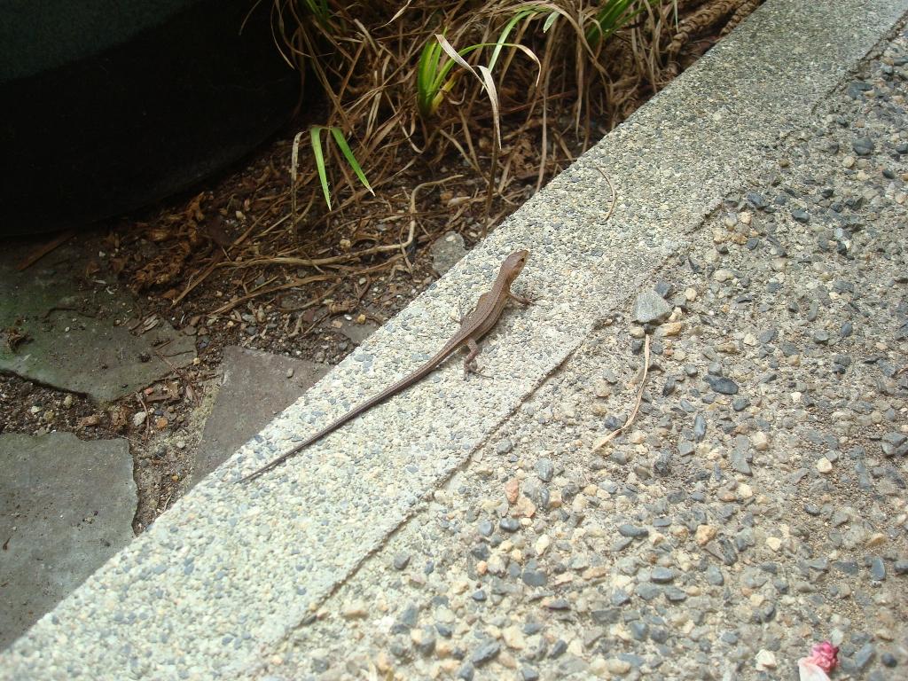 grass-lizard-13.jpg