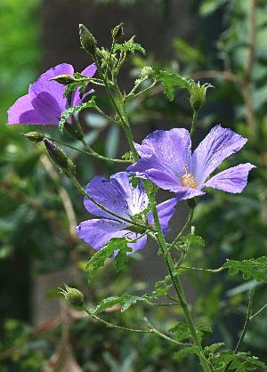 bluehibiscusL1.jpg