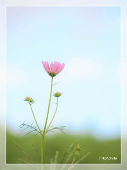 photo-719 2017コスモス_2_2