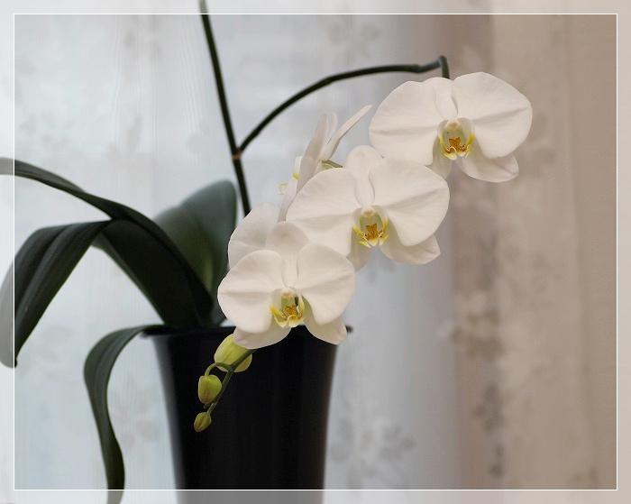 胡蝶蘭2番花