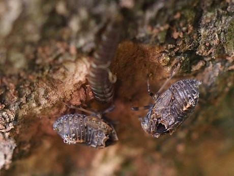 ハネナガウンカの一種・幼虫