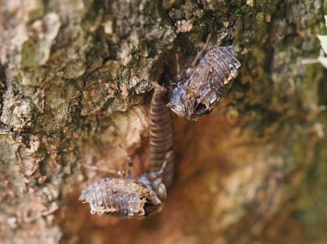 ハネナガウンカの一種・幼虫2