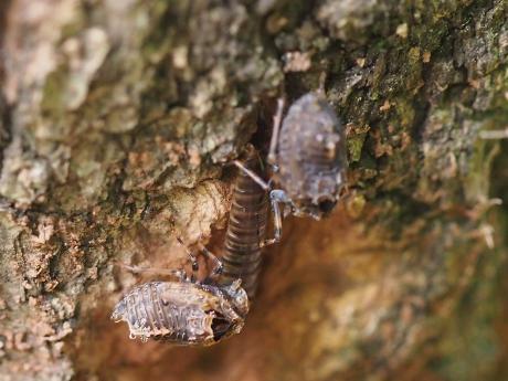 ハネナガウンカの一種・幼虫3