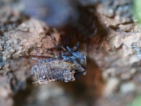 ハネナガウンカの一種・幼虫4