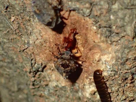 ハネナガウンカの一種・幼虫9