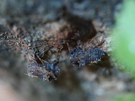 ハネナガウンカの一種・幼虫6