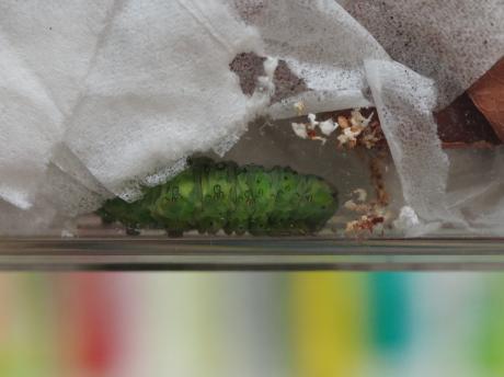 アヤモクメキリガ前蛹