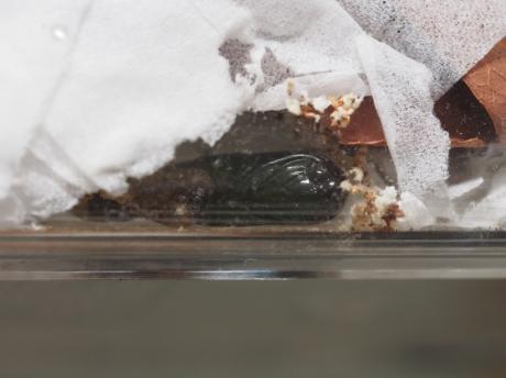 アヤモクメキリガ蛹