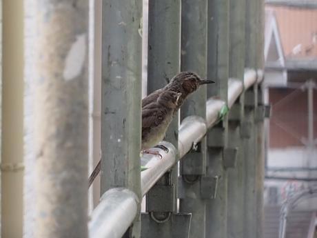 ヒヨドリ雛&成鳥4