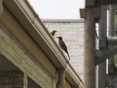 ヒヨドリ雛&成鳥