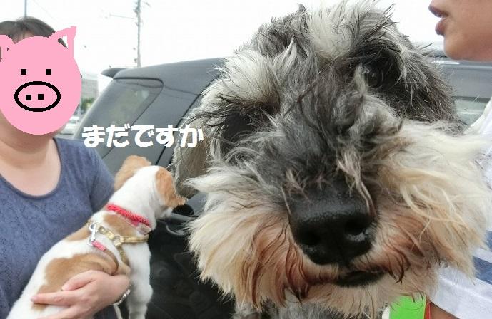 ダップル2日目・パピヨン愛知へ 017