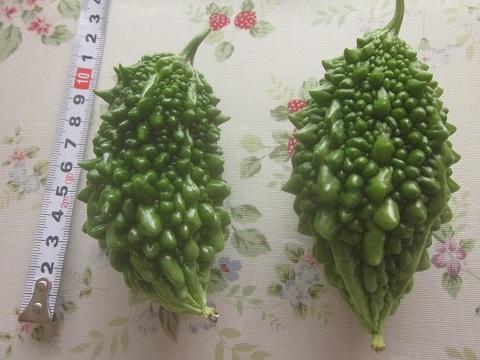 9月6日、61-62本目のゴーヤの実の収穫