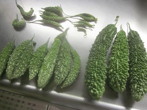 9月12日、69-89本目のゴーヤの実の収穫