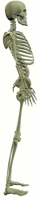 裏なし老化 骨格