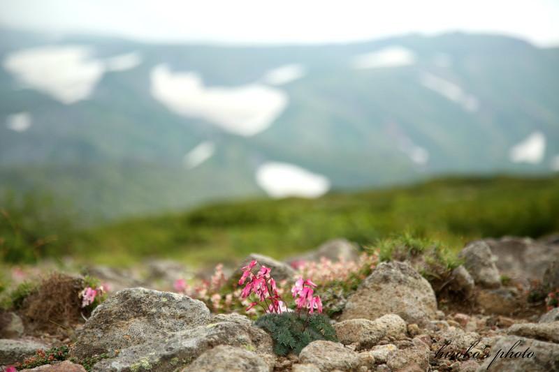 052 黒岳の高山植物0001署名入りedited