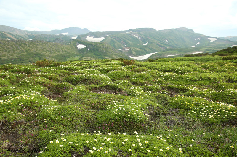 073 黒岳の高山植物0001署名入りedited