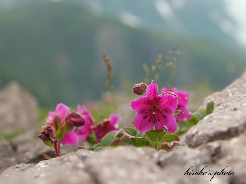 027 黒岳高山植物0001署名入りedited