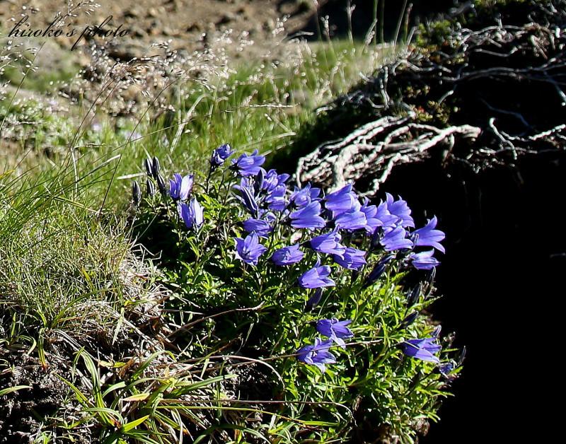 394 黒岳高山植物0001署名入りedited