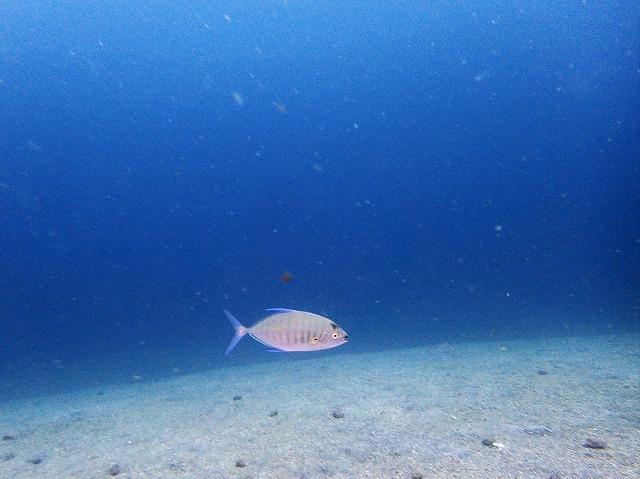 青物ダイビング