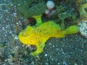 カエルアンコウ黄