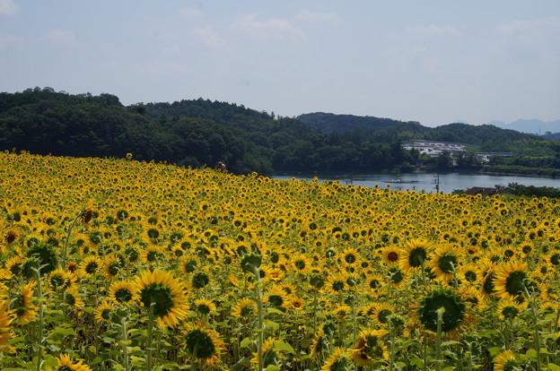 湖を望んだ場所に咲いてます