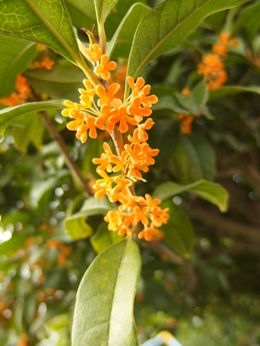 orange osmanthus170925