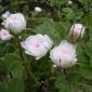 ⅢDhp53薔薇