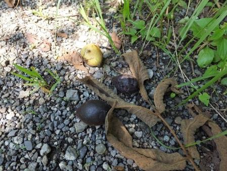 オニグルミの実と小枝