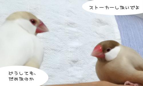 文鳥昼メロ劇場_1
