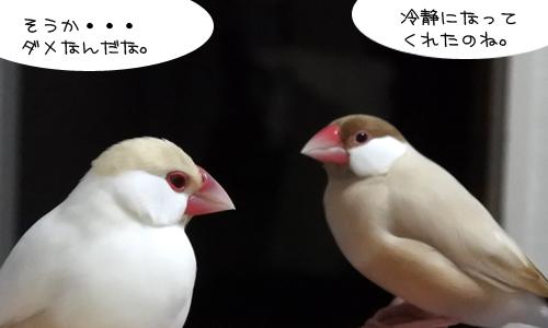 文鳥昼メロ劇場_4