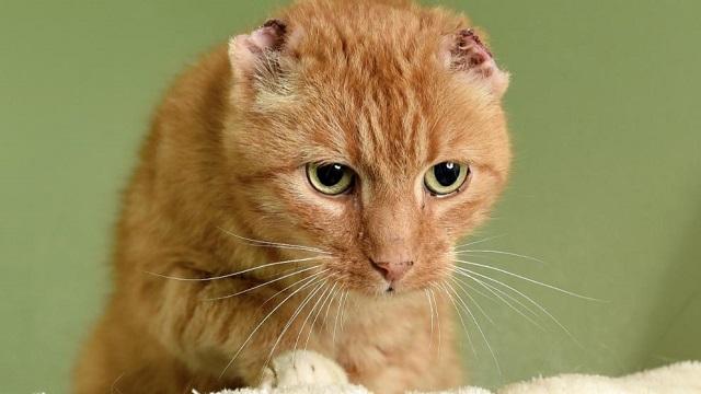 猫 耳 切断