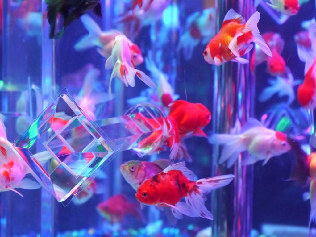 フリー写真 水槽の金魚