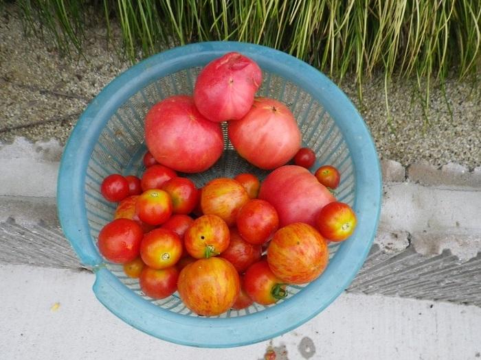収穫2_17_08_03