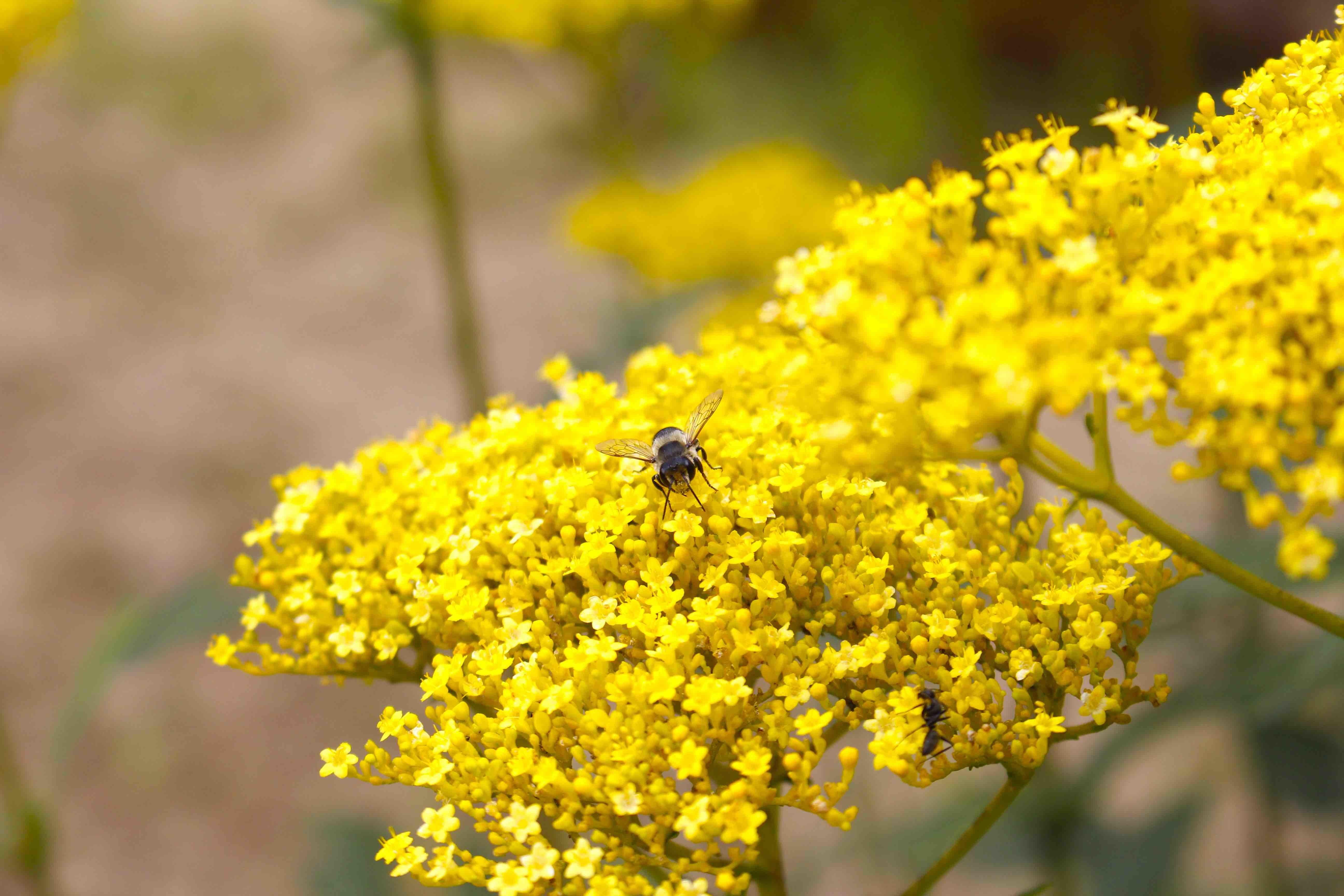 20170904ミツバチ