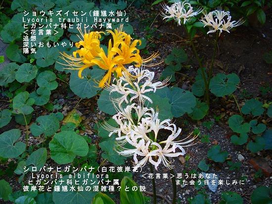 黄色と白色の彼岸花