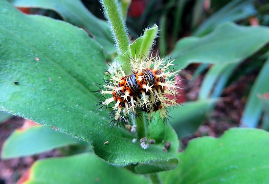 ルリタテハの幼虫A