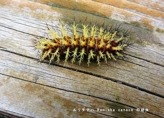 ルリタテハの幼虫B