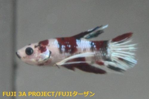 ベタ ハーフムーンプラガット コイ (2)
