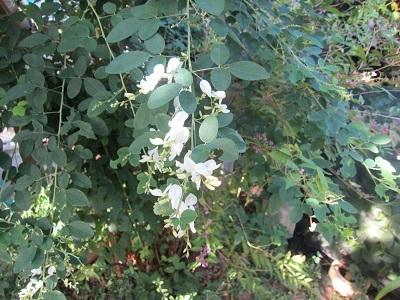 萩の白花 (1)-1