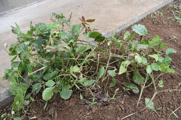 つるを巻き込んだヤブガラシは生長を止めた(8月撮影)