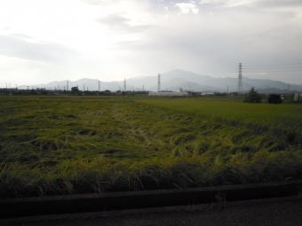 倒れている稲と170920